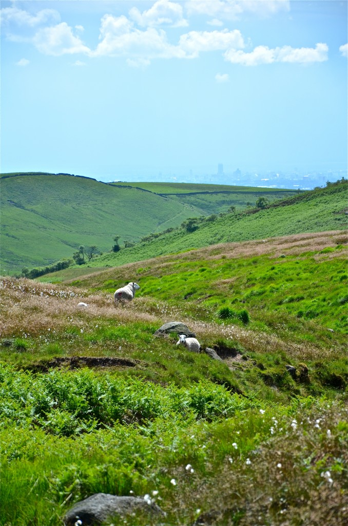SHEEP grazing in high summer with Manchester city centre in the distance